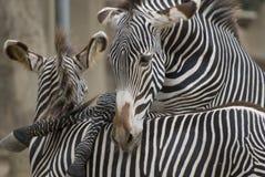 Het spelen Zebras Stock Foto