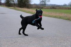 Het spelen zwart labrador retriever met een stuk speelgoed Stock Foto's