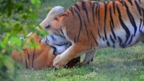 Het spelspel van de tijgersstrijd stock videobeelden