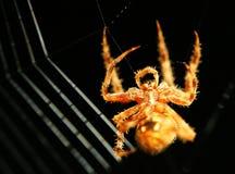 Het spinnen van de spin Web Stock Afbeelding