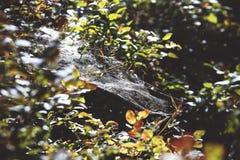 Het spinneweb op een boom vertakt zich Royalty-vrije Stock Fotografie