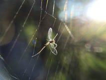 Het spinneweb spiderweb aard van het eendagsvliegeninsect Stock Afbeeldingen