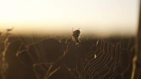 Het spinnewebspinneweb op het zonsonderganginsect varicoloured insectachtergrond levensstijl het de aardconcept van spinjachten stock footage