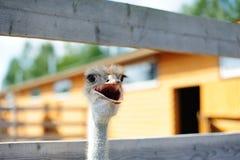 Het spreken van de struisvogel Stock Foto