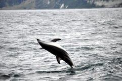 Het springen Dolfijn in Kaikoura, Nieuw Zeeland stock afbeeldingen