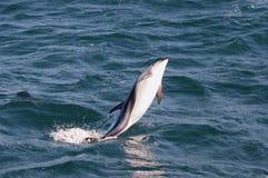 Het springen Dolfijn - Kaikoura - Nieuw Zeeland stock afbeeldingen