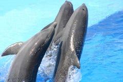 Het springen dolfijnen Stock Foto's