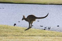 Het springen kangoeroe royalty-vrije stock afbeelding