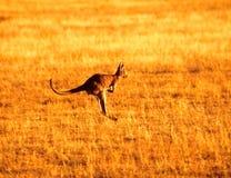 Het springen kangoeroe Stock Foto's