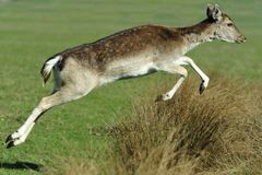 Het Springen van damherten Stock Afbeelding