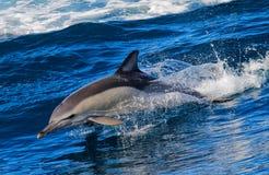Het springen van de dolfijn stock foto's