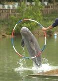 Het springen van de dolfijn royalty-vrije stock foto's