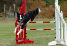 Het springen van de hond hindernis Royalty-vrije Stock Fotografie