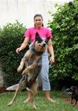 Het springen van de Hond van het Vee met Vrouw   Royalty-vrije Stock Afbeeldingen
