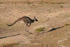 Het springen van de kangoeroe stock foto