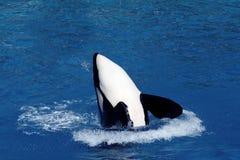 Het springen van de orka Stock Fotografie