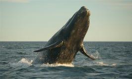 Het springen van de walvis Stock Foto