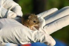 Het springen van de weide muis royalty-vrije stock foto's