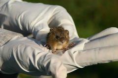 Het springen van de weide muis stock foto