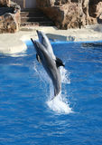Het Springen van dolfijnen Royalty-vrije Stock Foto's