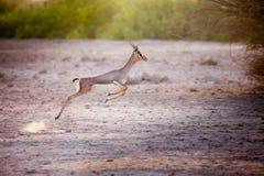 Het springen van gazelle op Sir Bani Yas-eiland, de V.A.E stock fotografie