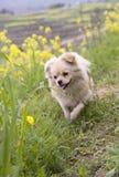Het springen van het puppy Stock Foto