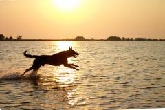 Het springen van hond in het overzees Stock Afbeeldingen