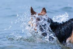 Het springen van hond in plonsen van water Royalty-vrije Stock Afbeeldingen