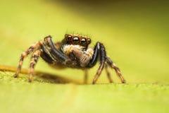 Het springen van Pseudeuophrys spin Royalty-vrije Stock Afbeeldingen