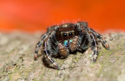 Het springen van spin Stock Foto