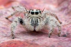 Het springen van spin Hyllus Stock Foto's
