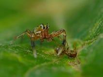 Het springen van Spin met Ant Prey Stock Foto's