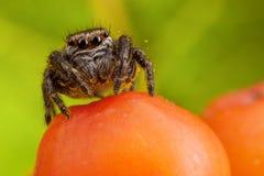 Het springen van spin op ashberry Royalty-vrije Stock Afbeelding