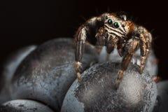 Het springen van spin op Blackberry op de donkergroene achtergrond Royalty-vrije Stock Afbeeldingen