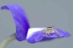 Het springen van spin op bloem Stock Foto