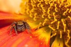 Het springen van spin op het bloemblaadje stock afbeelding