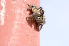 Het springen van Spin op muur Stock Afbeelding