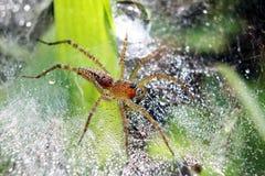 Het springen van spin op nest stock foto
