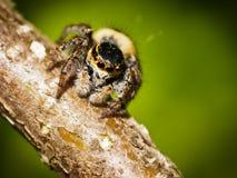 Het springen van spin op tak Royalty-vrije Stock Foto's