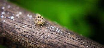 Het springen van Spin Salticidae Royalty-vrije Stock Afbeeldingen