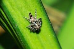 Het springen van spinnen op de bladeren royalty-vrije stock foto