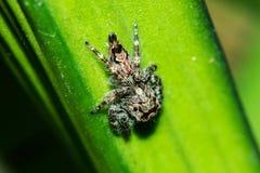 Het springen van spinnen op de bladeren royalty-vrije stock foto's