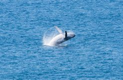 Het springen Walvis, Fraser Island, Australië, Queensland royalty-vrije stock fotografie