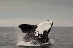 Het springen walvis in Penisula Valdes, Argentinië Royalty-vrije Stock Foto