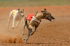 Het sprinten van windhond Stock Fotografie