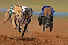 Het sprinten van windhonden Stock Afbeeldingen