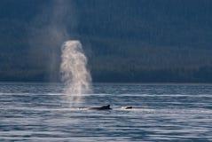 Het Spuiten van de Walvissen van de gebochelde Royalty-vrije Stock Foto's
