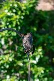 Het stadswild als starling vulgaris wilde vogel van Sturnus strijkt op een voeder van het de vogelzaad van het tuinniervet neer stock foto's