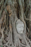 Het standbeeld van Boedha in de wortels van boom Royalty-vrije Stock Foto's