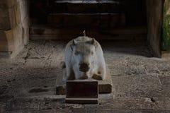 Het standbeeld van koe Stock Foto's